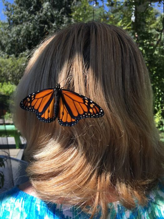 One of my just released Monarchs clinging on to my hair