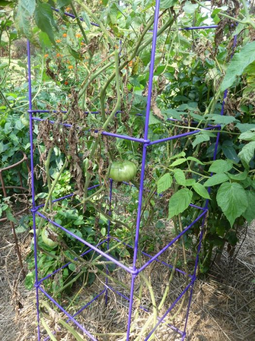 A pitiful tomato plant in September