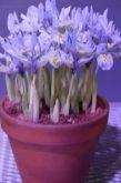 Miniature Iris in a pot