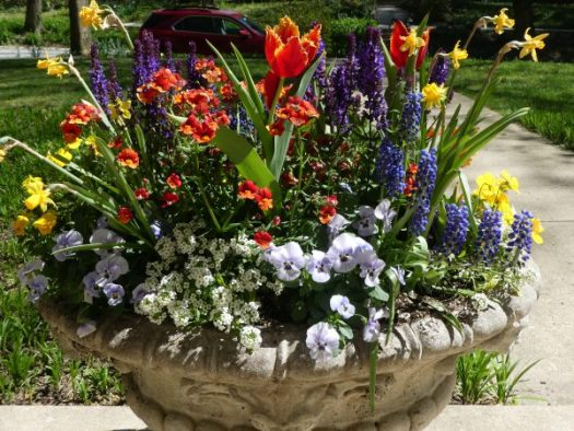 Blooming Tulips, Daffs, and Grape Hyacinths add great color to a spring container