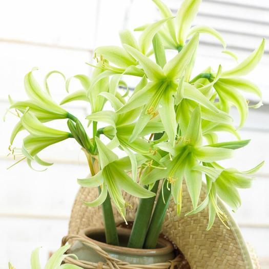Evergreen Amaryllis from Longfield gardens