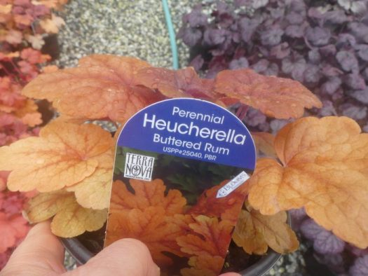 Heucherella 'Buttered Rum'