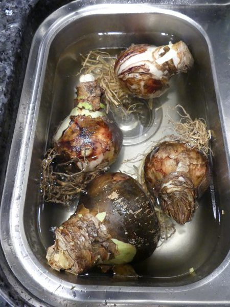 To get a head start soak the bulbs for an hour in warm water to hydrate the roots