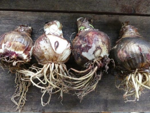 A range of sizes of bulbs will give you various bloom sizes and numbers