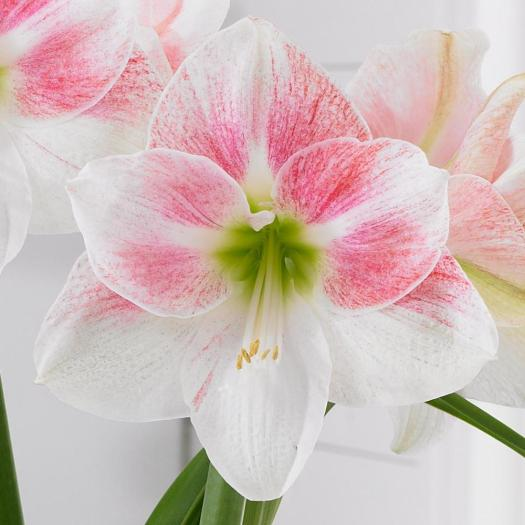 'Rosy Star' Amaryllis from Longfield Gardens