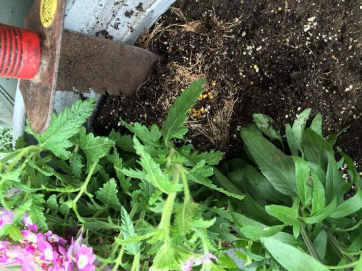 Using a soil knife, I can cut through old roots in containers