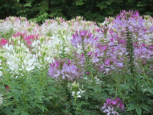 Sticky cleome is native to South America and looks spidery, hence its common name, Spider Flower