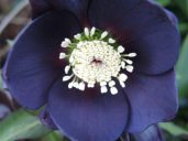 Nearly black Hellebore