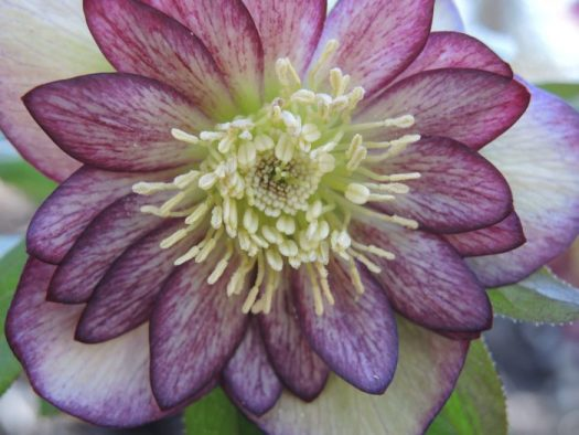 Double hellebore, not sure of the variety