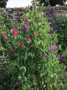 Sweet Peas at Falkland Palace in Scotland
