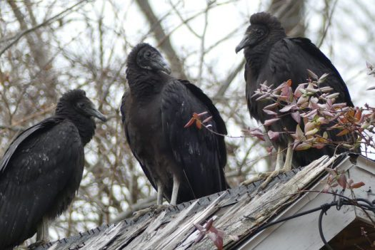 Turkey vultures are the ugly but necessary scavengers of the animal world