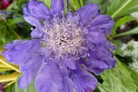 Scabiosa 'Butterfly Blue' is a great pollinator friendly plant