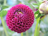 Pom Pom form of dahlia