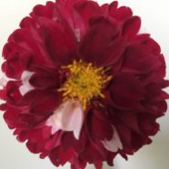 'York and Lancaster' an heirloom dahlia from Old House Gardens