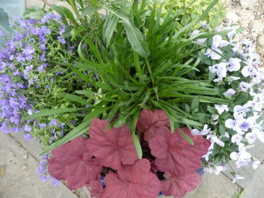 I will keep the pink Coral Bells and the strappy Alliums in this container and rip out the violas when they are done