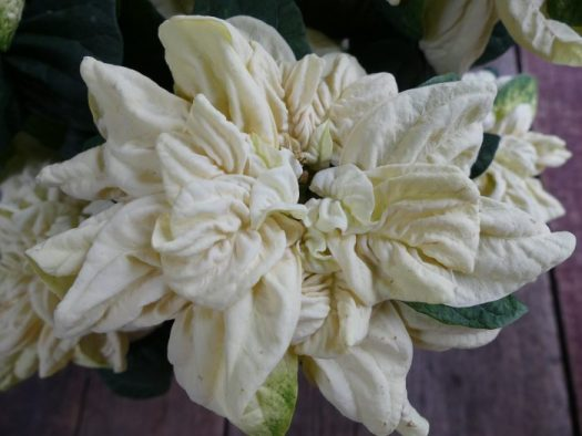 The newer white Poinsettias are really beautiful