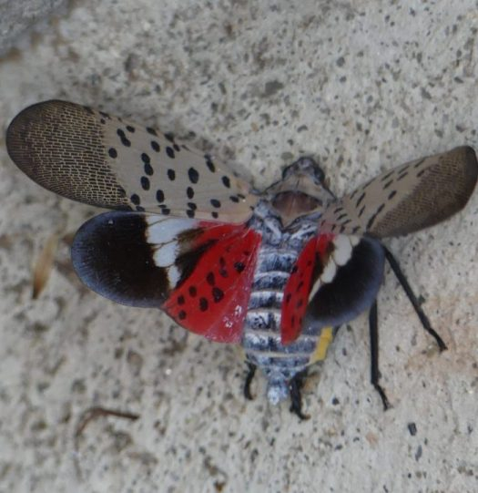 The spotted lantern fly is actually a beautiful insect