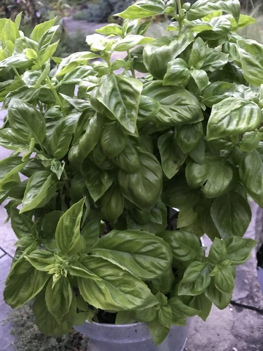 A healthy hydroponic basil plant