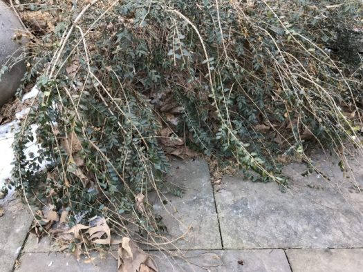 Pockets of leaves stick in twiggy shrubs