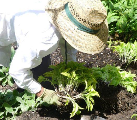 Splitting up a hosta plant