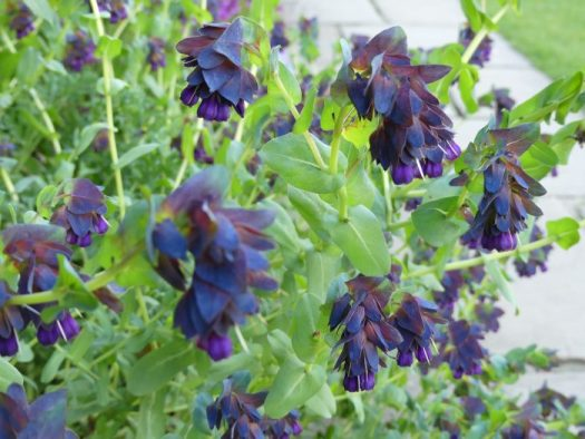 Cerinthe changes color as it ages