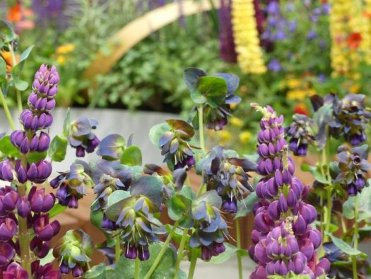 Next to a purple flower, Cerinthe shows up best