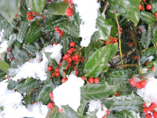 An evergreen holly in snow stands out