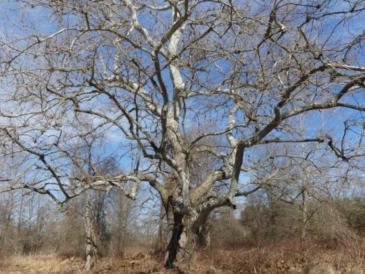 Native Sycamores stand out in the winter landscape