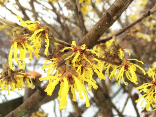 The flowers of Witch hazel are very fragrant