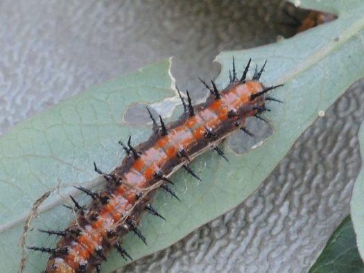 Caterpillars sustain our bird populations