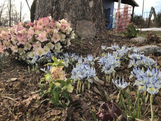 Hellebore blooming with mini Iris