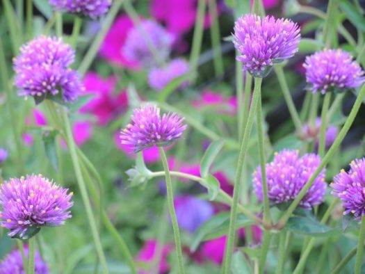 Fireworks Gomphrena is always at the top of my list to grow
