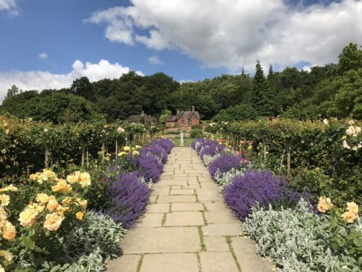 Alternating with Lambs Ears (Stachys byzantia), nepeta makes a statement at Chartwell in England