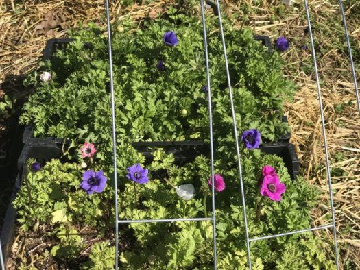 Anemones ready to be picked in April