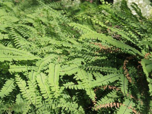 Maidenhair Fern is a great fern but needs pretty moist conditions