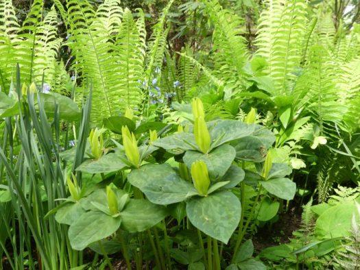 Ostrich Ferns pairs well with spring ephemerals such as trillium