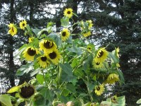 The Great Sunflower Project  The Backyard Bee Count | The ...
