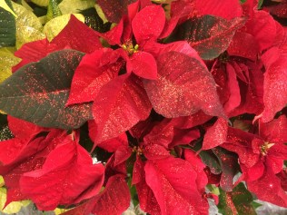 Glitter applied to Poinsettias at the supermarket