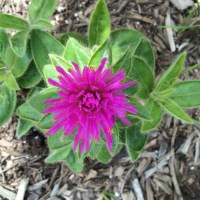 Plant Geek Alert-Pink Zazzle Gomphrena