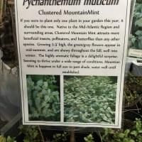 Bee Catnip-Mountain Mint