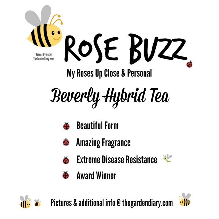 _Rose Buzz_Beverly.jpg