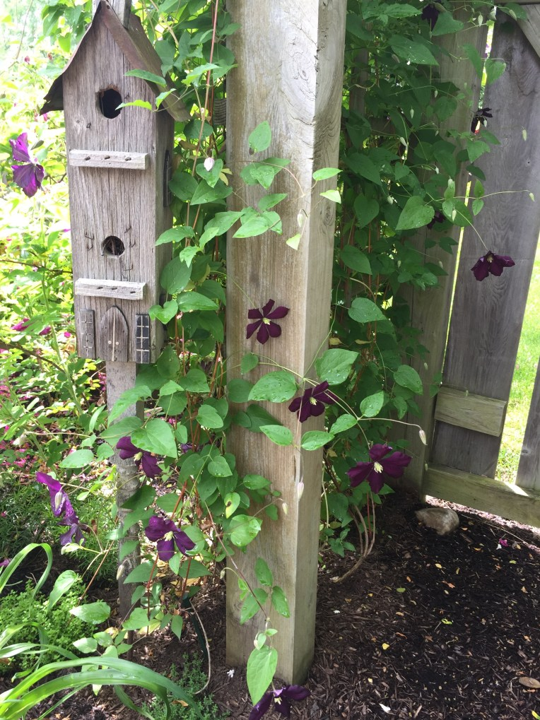 Etoille de Violette Clematis hugging on the birdhouse. There are little birdies in there! :)