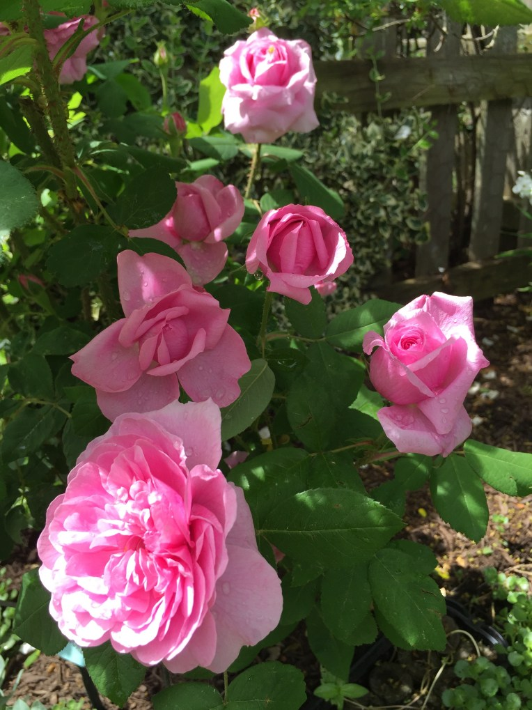 Comte de Chambord ... an intensely fragrant Portland.