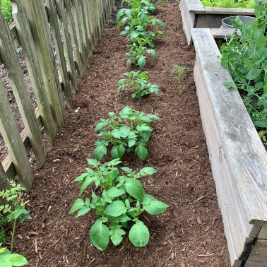 "🥔Potatoes (Kennebecs) jumping up along with a ""volunteer"" Cosmos to the right side."