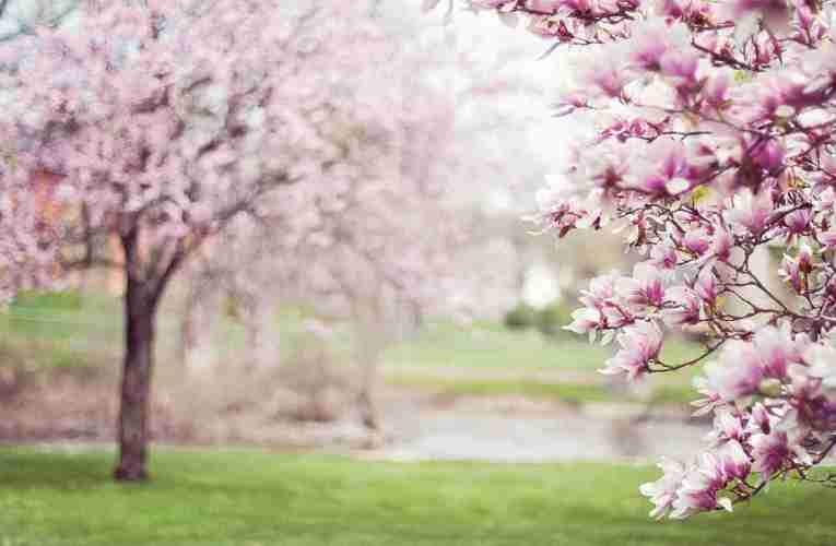 How to look after a Magnolia Tree