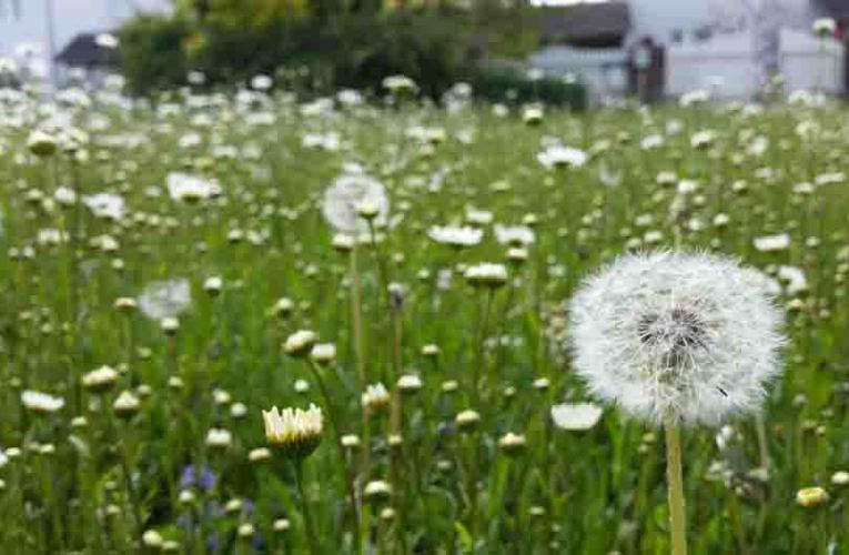Dandelions– Guide For Reliable Weed Elimination With Herbicides