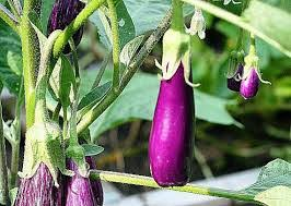 Eggplants are one of the fruits and vegetables to grow in containers