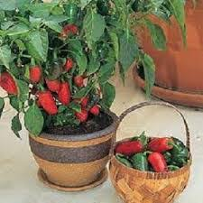 Grow peppers in containers