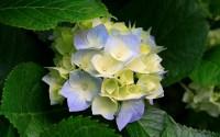 propagating hydrangea cuttings