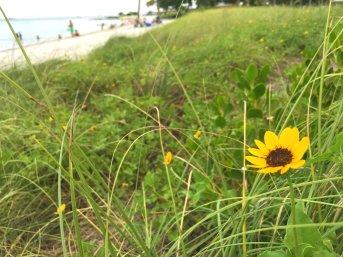 Yellow daisy on a beach on Vaca Key.